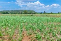 Natura del paesaggio dei raccolti della canna da zucchero Immagine Stock