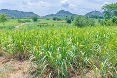 Natura del paesaggio dei raccolti della canna da zucchero Immagini Stock Libere da Diritti