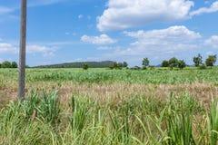 Natura del paesaggio dei raccolti della canna da zucchero Fotografia Stock Libera da Diritti