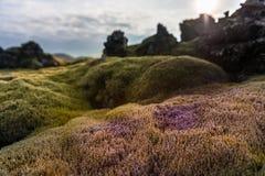 Natura del paesaggio dell'Islanda con muschio su Lava Ground Macro Immagine Stock Libera da Diritti