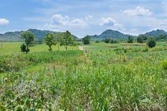 Natura del paesaggio del dettaglio dei raccolti della canna da zucchero Immagine Stock Libera da Diritti