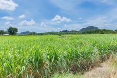 Natura del paesaggio del dettaglio dei raccolti della canna da zucchero Fotografia Stock
