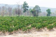 Natura del paesaggio del dettaglio della manioca Fotografia Stock