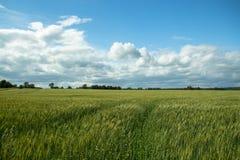Natura del paese con il grande giacimento di cereale di mattina Fotografia Stock