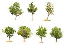 Natura dell'albero dell'isolato di Fotografia Stock