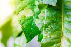 Natura della foglia verde con la gocciolina immagini stock