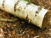 Natura della foresta - una betulla tagliata come fondo della natura immagini stock