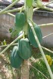 Natura della frutta del dettaglio del primo piano della papaia Fotografia Stock Libera da Diritti