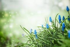 Natura della sorgente Fiori graziosi dei giacinti dell'uva in erba al fondo vago della natura di primavera con bokeh esterno fotografie stock