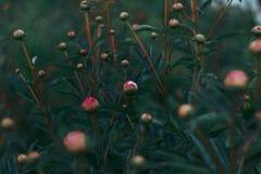 Natura delle fiore-peonie di fioritura dell'Estremo Oriente Immagini Stock