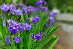 Natura delle piante perenni dell'Estremo Oriente, fiori Natura di inizio dell'estate Immagine Stock