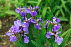 Natura delle piante perenni dell'Estremo Oriente, fiori Natura di inizio dell'estate Fotografie Stock
