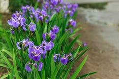 Natura delle piante perenni dell'Estremo Oriente, fiori Natura di inizio dell'estate Fotografia Stock Libera da Diritti
