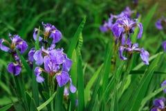 Natura delle piante perenni dell'Estremo Oriente, fiori Natura di inizio dell'estate Immagini Stock Libere da Diritti