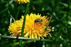 natura, denti di leone, erba, fiori, estate, radura Fotografie Stock Libere da Diritti