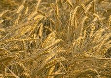 Natura di agricoltura del giacimento di cereale Fotografie Stock