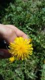 Natura di giallo dell'erba di estate del fiore Immagine Stock
