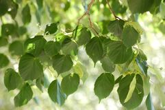 Natura di verde del foglie della foglia immagini stock libere da diritti