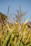 Natura e paesaggi, agricoltura ed i raccolti, giacimento di grano, i raccolti, punte Immagine Stock