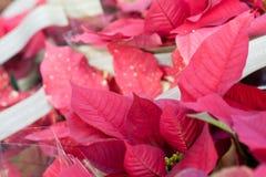 Natura floreale di natale rosso fotografia stock
