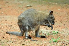 natura kangura na zewnątrz Zdjęcie Stock