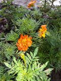 Natura kwiat Fotografia Royalty Free