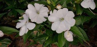 Natura kwiaty 001 Obrazy Royalty Free