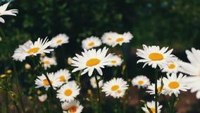 Natura lato, kwiatów pola, dzikiego kwiatu łąka, botanika i biologia, Piękni chamomiles kwitną w ogródzie i kiwają zbiory wideo