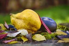 Natura morta all'aperto di autunno con la cotogna Fotografie Stock Libere da Diritti