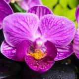 Natura morta dell'orchidea viola spogliata (phalaenopsis), b verde della stazione termale Fotografia Stock