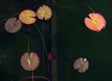 Natura morta di acqua Lillies Fotografia Stock