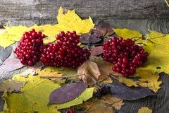 Natura morta di autunno con le bacche di viburno Immagine Stock Libera da Diritti