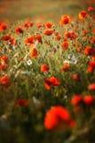 Natura nel papavero di colore rosso della Polonia Fotografia Stock Libera da Diritti
