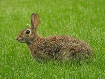 Natura przy swój najlepszy podwórka królikiem! Zdjęcie Stock