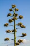 Natura rośliny agawa americana Zdjęcia Stock
