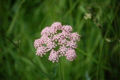 Natura rosa del fiore immagini stock