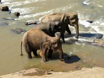 Natura selvaggia elefanti Fotografia Stock