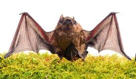 Natura selvaggia Forelimbs adattati come ali Mammiferi naturalmente capaci del volo vero e continuo Il pipistrello emette ultraso fotografia stock