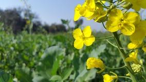 Natura Tapetowy Inkasowy żółty kwiat fotografia royalty free