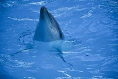 Natura in tensione del mare della lampuga fotografia stock libera da diritti