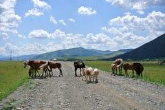 Natura, territorio di Altai, Siberia occidentale, Russia Immagine Stock Libera da Diritti