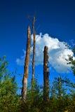 Natura, tre tronchi e bello cielo blu, nuvole in de background Immagini Stock Libere da Diritti
