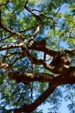 Natura tropicale dell'albero Fotografia Stock