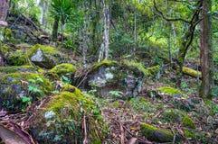 Natura, tropikalny las deszczowy w Lamington parku narodowym, Queensland, Austr Obraz Royalty Free