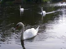 Natura-Uccello-cigni che nuotano in un fiume Fotografia Stock Libera da Diritti