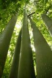 Natura verde australiana degli alberi alti Fotografia Stock