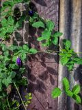 Natura viola dell'albero del fiore Fotografia Stock Libera da Diritti