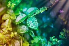 Natura: wod krople na liściach Fotografia Royalty Free