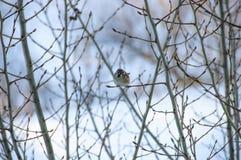 Natura wróble na drzewnym wróblu Fotografia Royalty Free