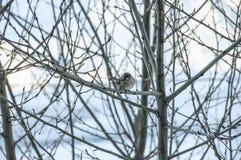 Natura wróble na drzewnym wróblu Obrazy Stock